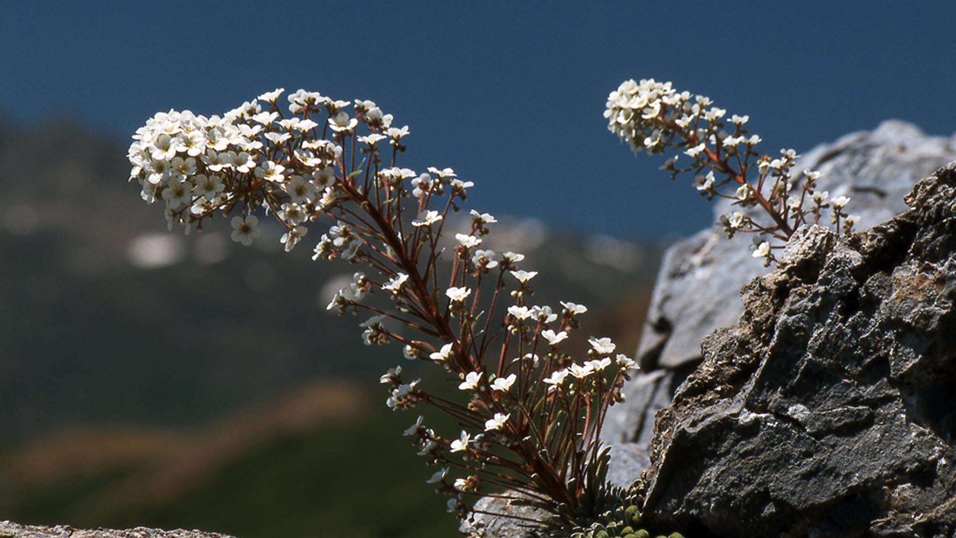 Flora en la Comarca del Alto Gállego