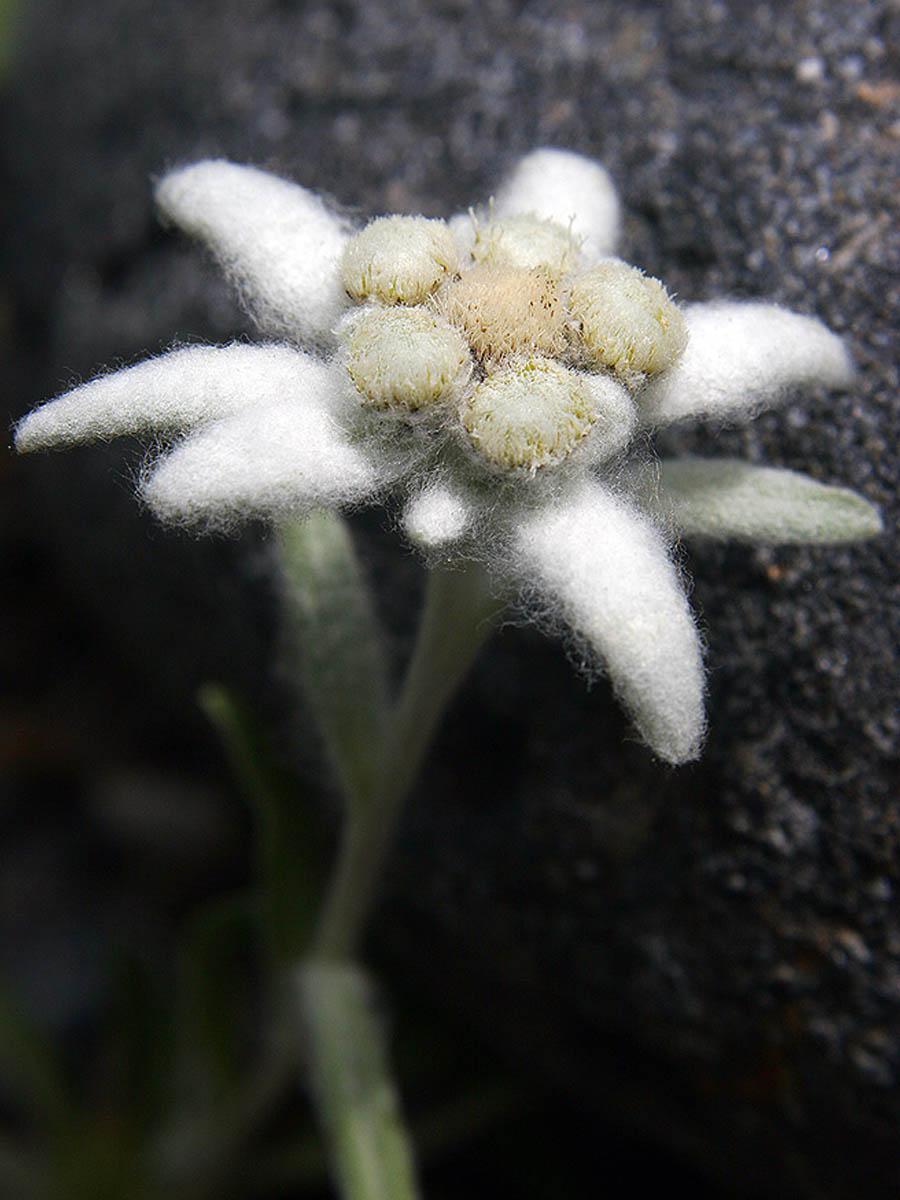 Leontopodium Comarca Alto Gállego