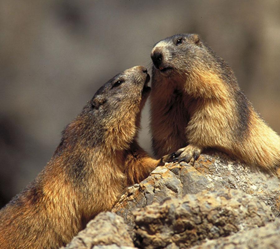 Marmotas Comarca Alto Gállego