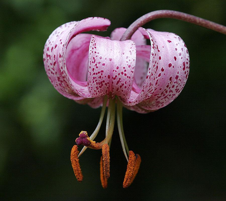 Flora Comarcal del Alto Gállego
