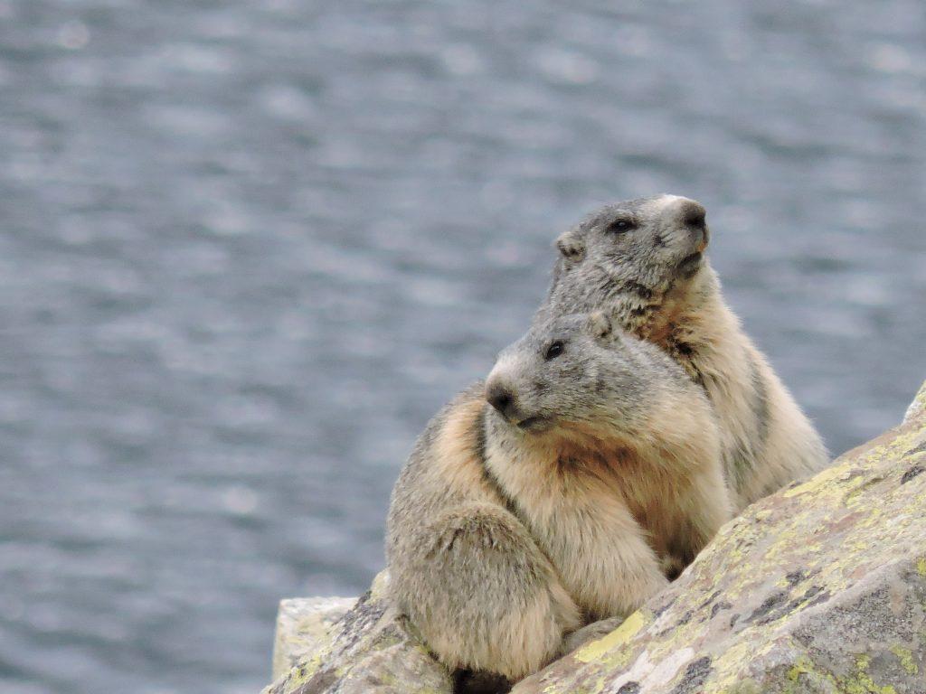 marmotas