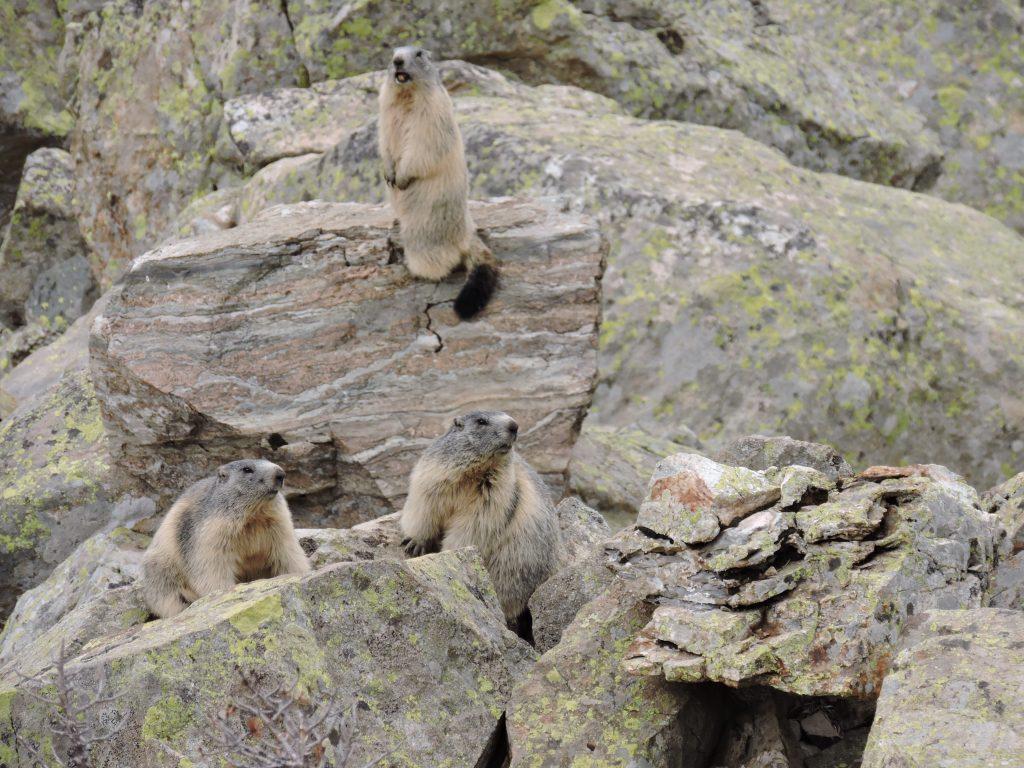 marmotas en el pirineo